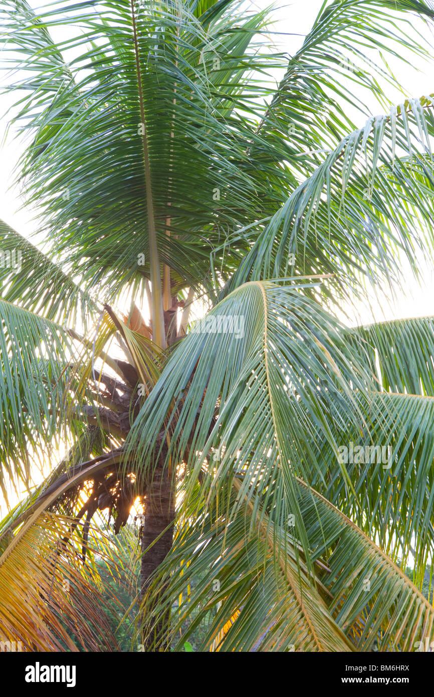 Palm tree lascia nella luce solare Immagini Stock