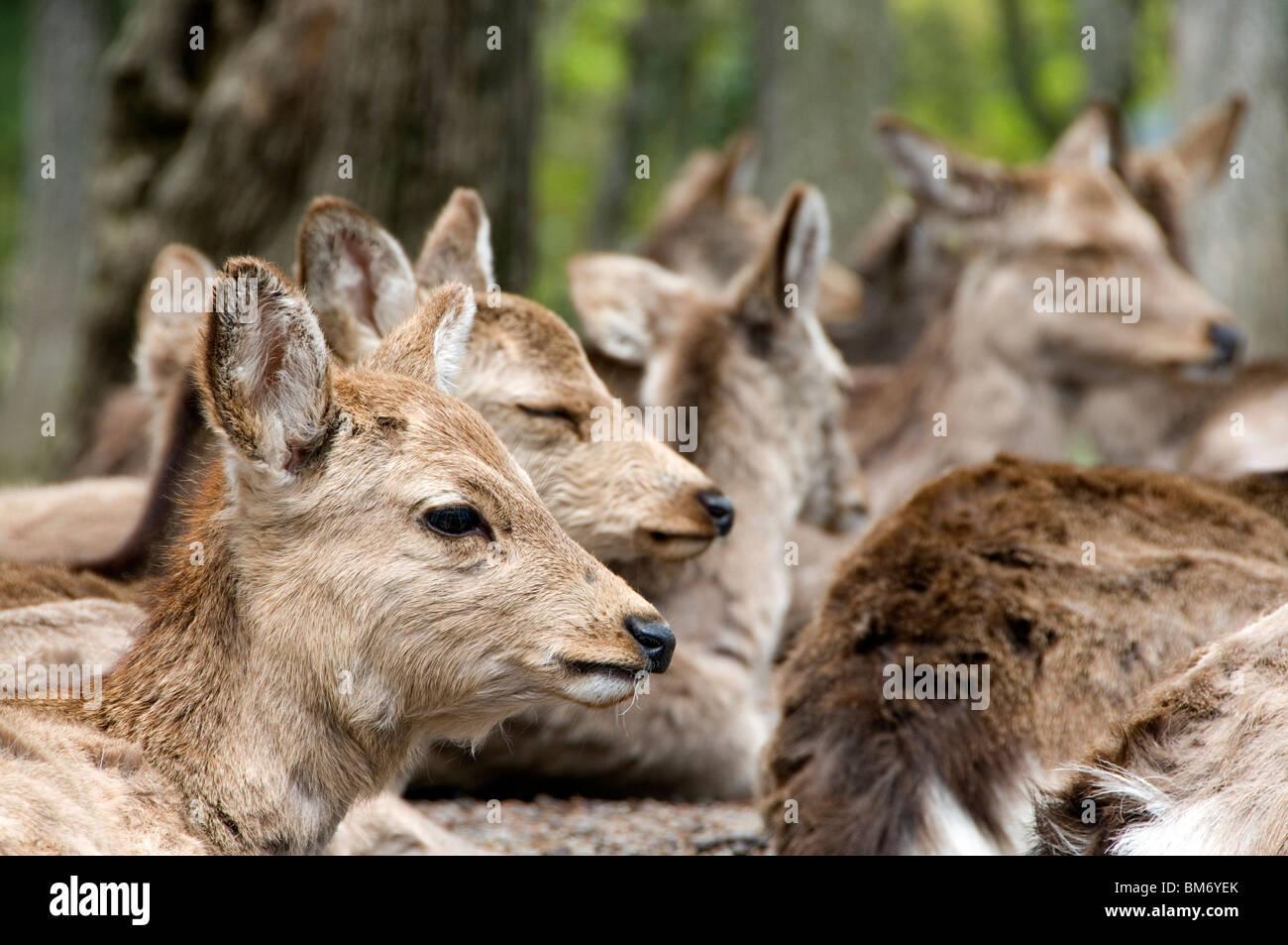 Sika Deer Fawn a Nara, Giappone Immagini Stock
