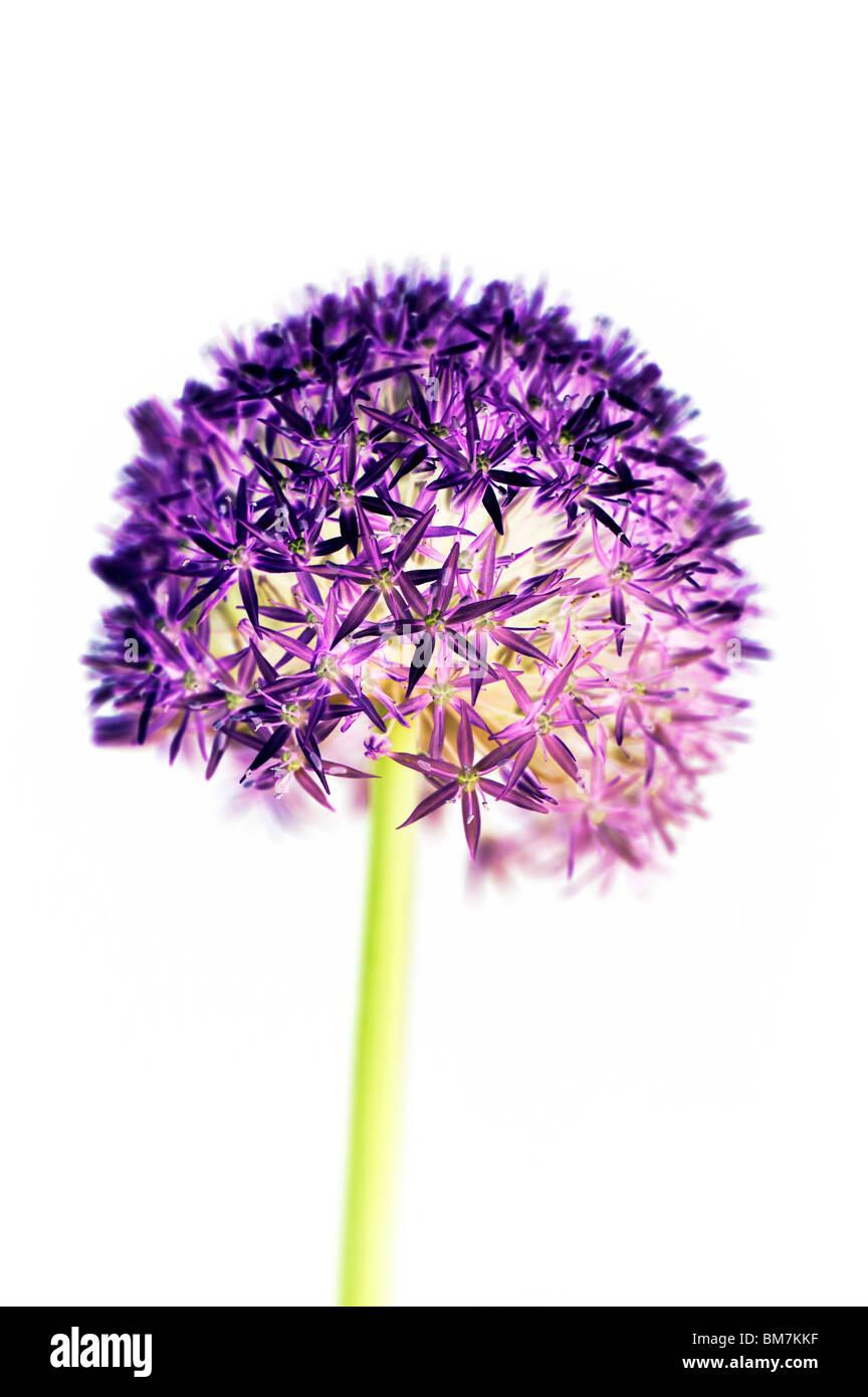 Allium 'globemaster' Fiore, colorati digitalmente su sfondo bianco. Immagini Stock