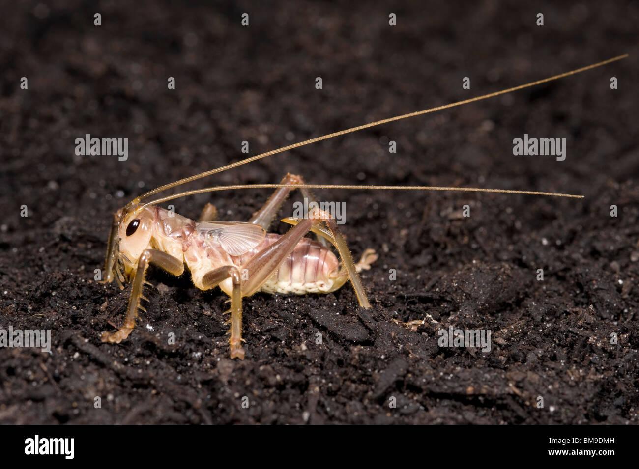 Raspy femmina cricket nymph della famiglia Gryllacrididae Immagini Stock