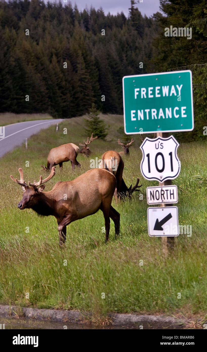 Roosevelt alci pascolare da Freeway route 101 nel Parco Nazionale di Redwood in California USA Immagini Stock