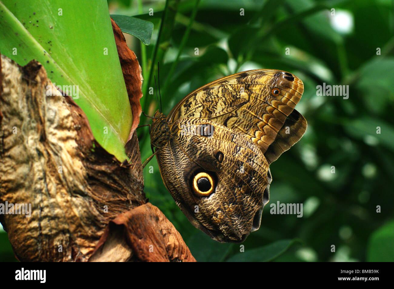 Farfalla Caligo sp. in ambiente tropicale in appoggio sul tronco Immagini Stock