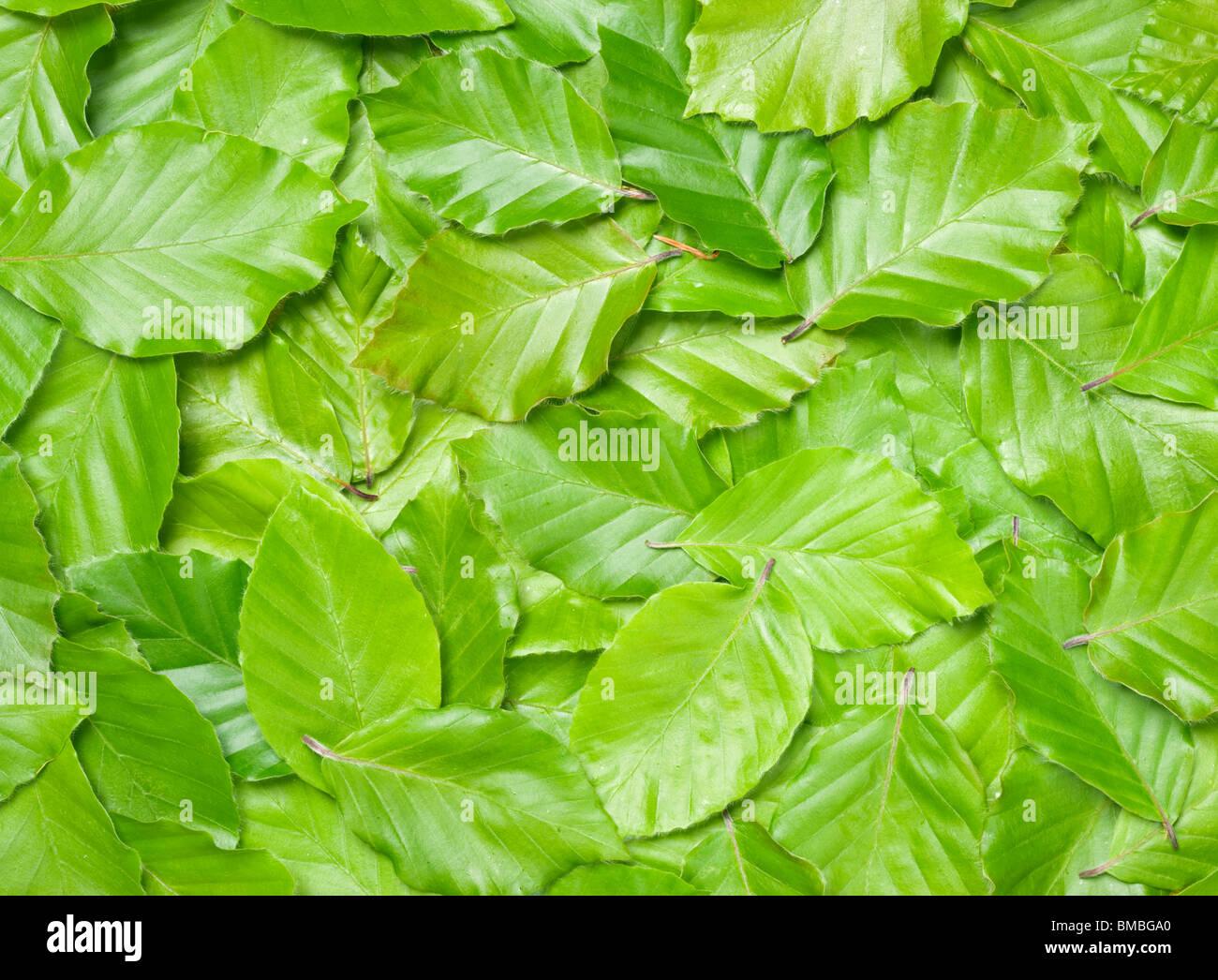 Foglie di faggio, Fagus sylvatica. Immagini Stock