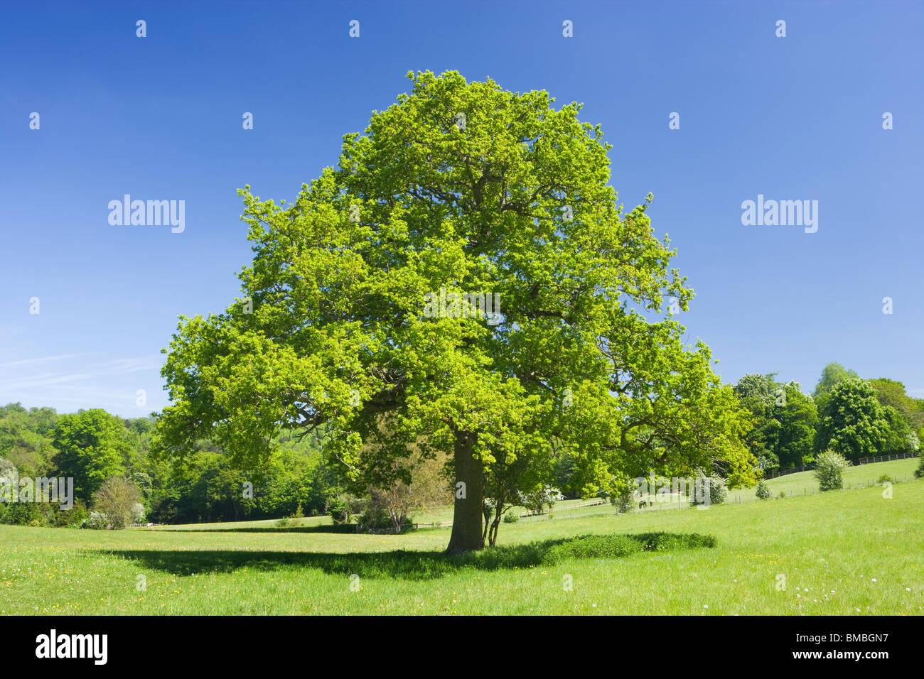 Albero di quercia in campo, Ranmore comune, Surrey, Regno Unito Immagini Stock