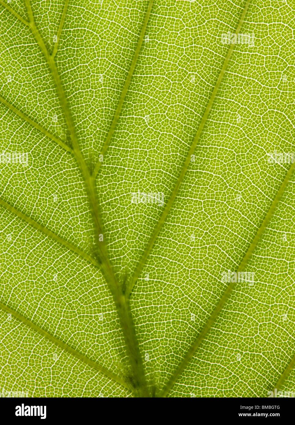 Foglia di faggio, Fagus sylvatica. Retroilluminato per mostrare le vene. Immagini Stock