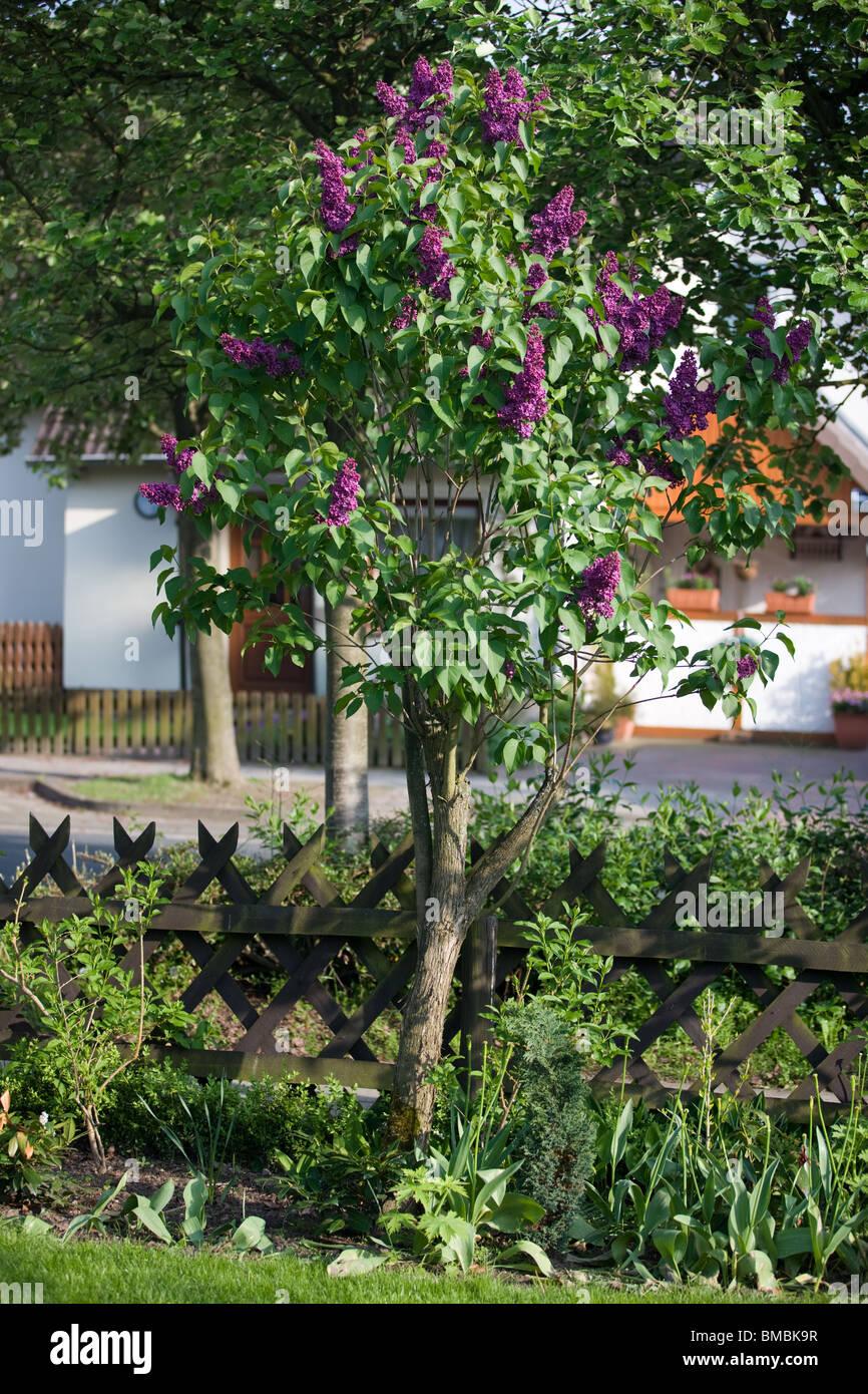 Albero Di Lillà syringa vulgaris o albero di lilla foto & immagine stock