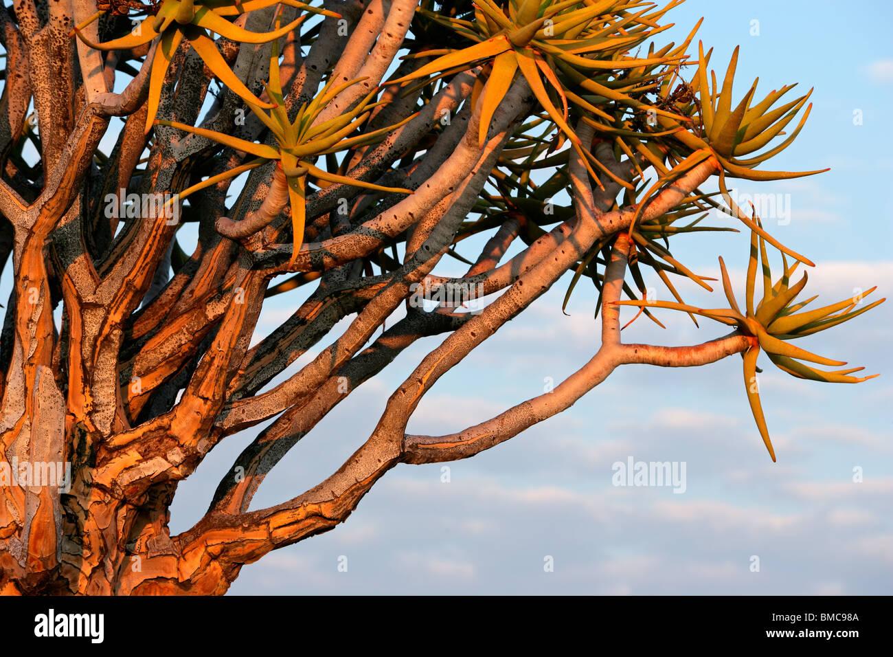 I rami di un albero faretra (Aloe dichotoma) all'inizio. La luce del mattino, Namibia, Sud Africa Immagini Stock