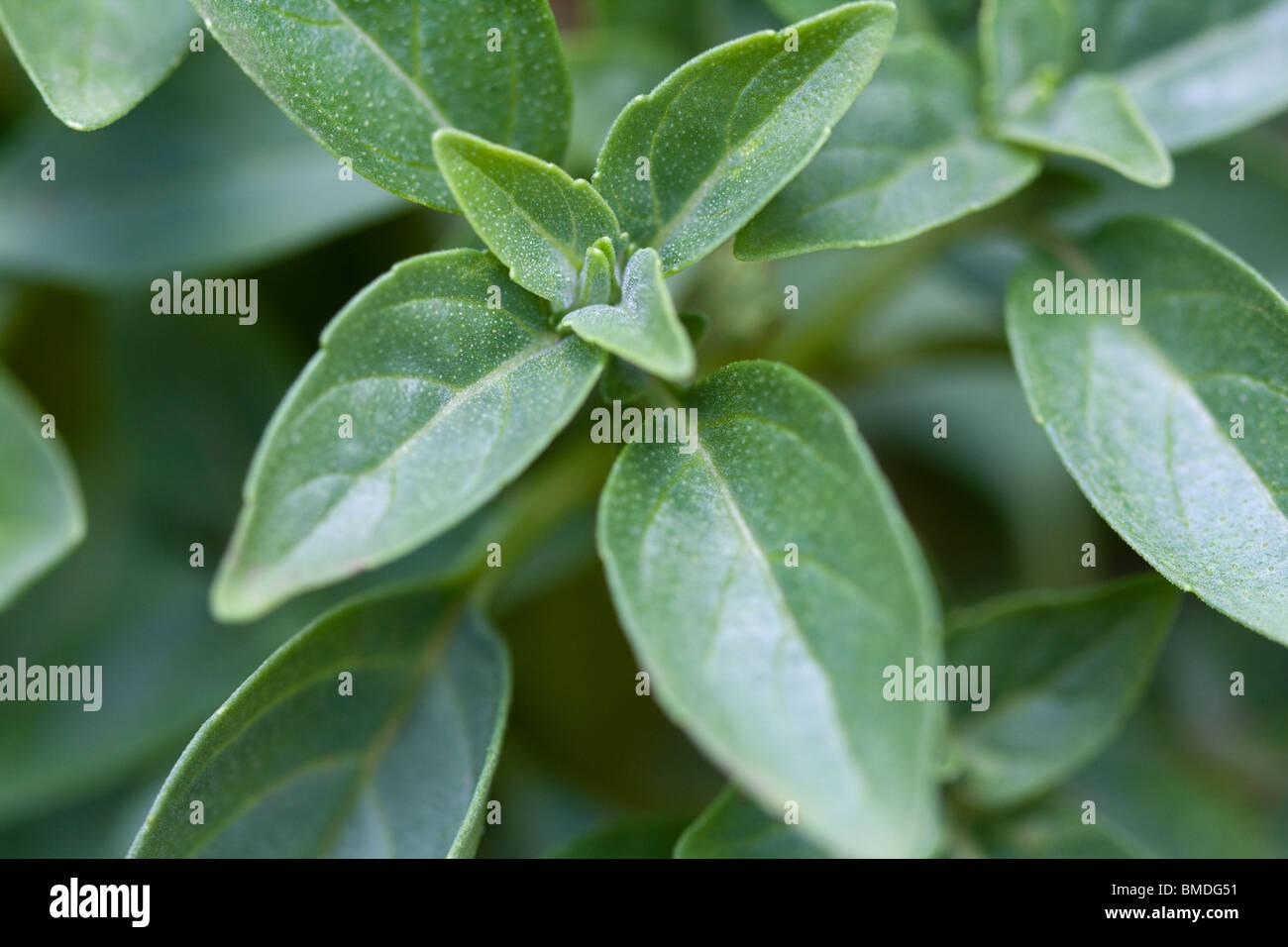 Globo piccante basilico (Ocimum basilicum minimo) cresce in un giardino. Immagini Stock