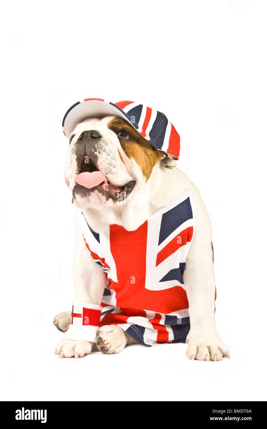 Un Bulldog inglesi indossando un Unione Jack giubbotto, cappuccio e bandiera inglese polso Sudore banda contro un Immagini Stock