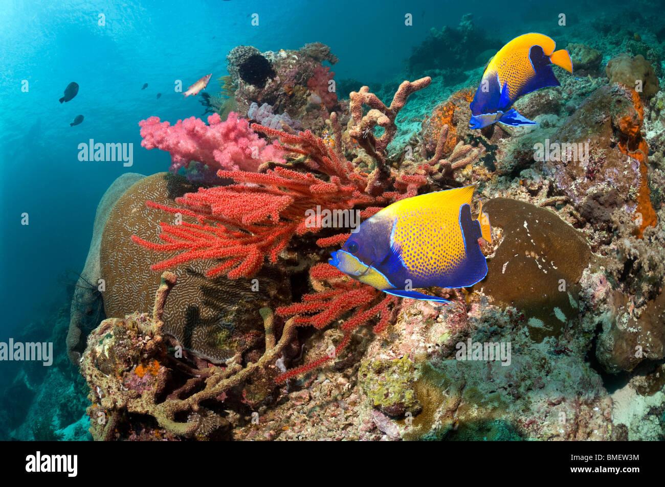 Blu-cinto angelfish nuoto passato soft coral sulla barriera corallina. Misool Raja Ampat, Papua occidentale, in Immagini Stock