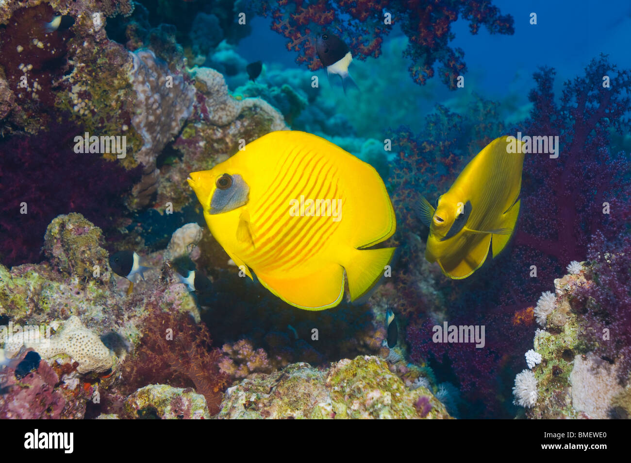 Golden butterflyfish sulla barriera corallina. Egitto, Mar Rosso. Immagini Stock