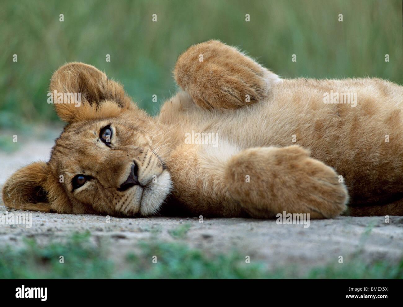Lion cub, Queen Elizabeth Park, Uganda Immagini Stock
