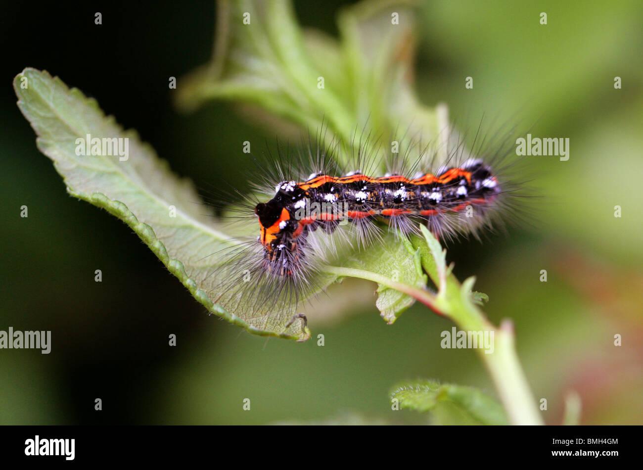 Dark pugnale, Acronicta tridens, Caterpillar (imago), Acronictinae, Noctuidae, Lepidotteri. Immagini Stock