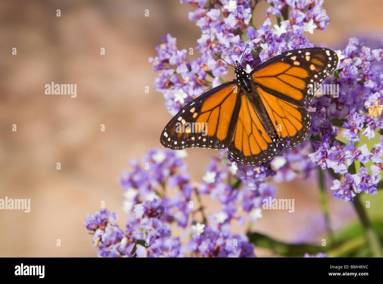 Farfalla monarca sui fiori esotici dalle isole Canarie. Immagini Stock