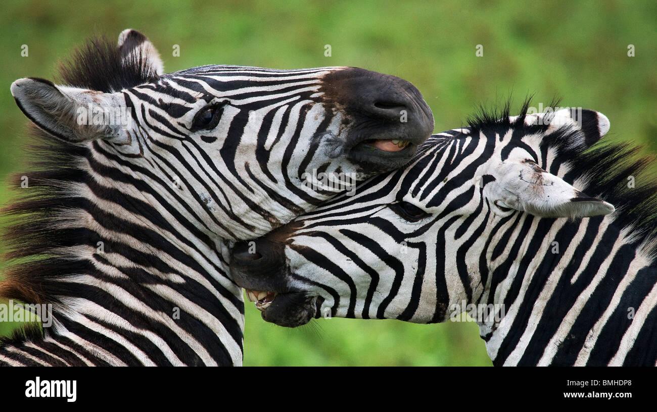 Zebre nuzzling ogni altro, Ngorongoro National Park, Tanzania. Immagini Stock