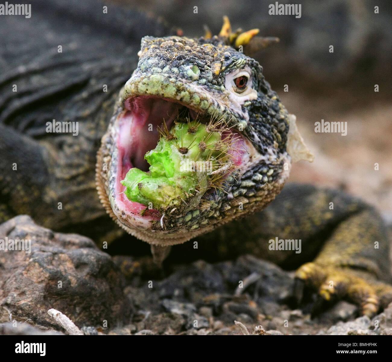 Terrestre (paese) iguana mangiando un cactus, Isola di Santa Fe, Isole Galapagos, Ecuador. Immagini Stock