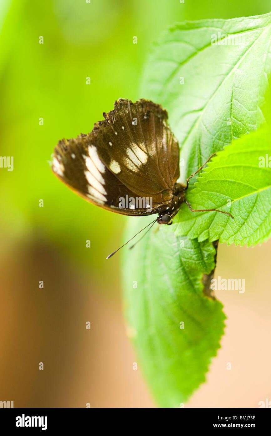Golders Hill Park , butterfly Papilio Polytes o comune , Mormone adulto Ciro , nativi Asia , arroccato sulla lamina Immagini Stock