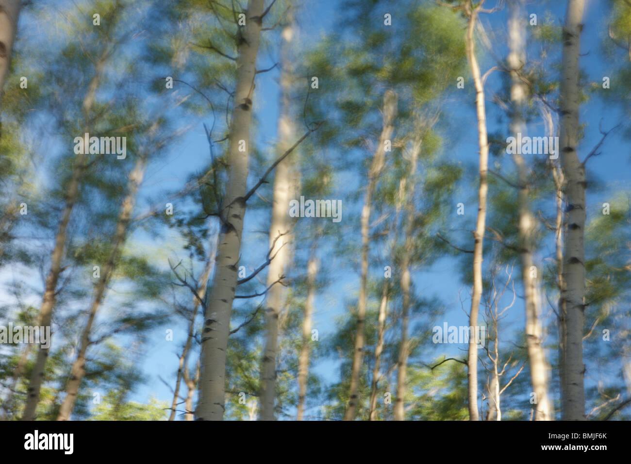 Alberi di betulla al vento, Jasper National Park, Alberta, Canada Immagini Stock