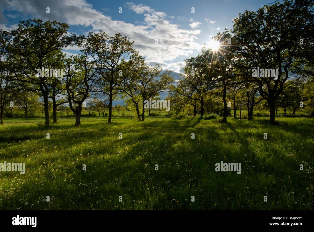 La Scandinavia, Svezia, Oland, vista di alberi di quercia in orizzontale Immagini Stock