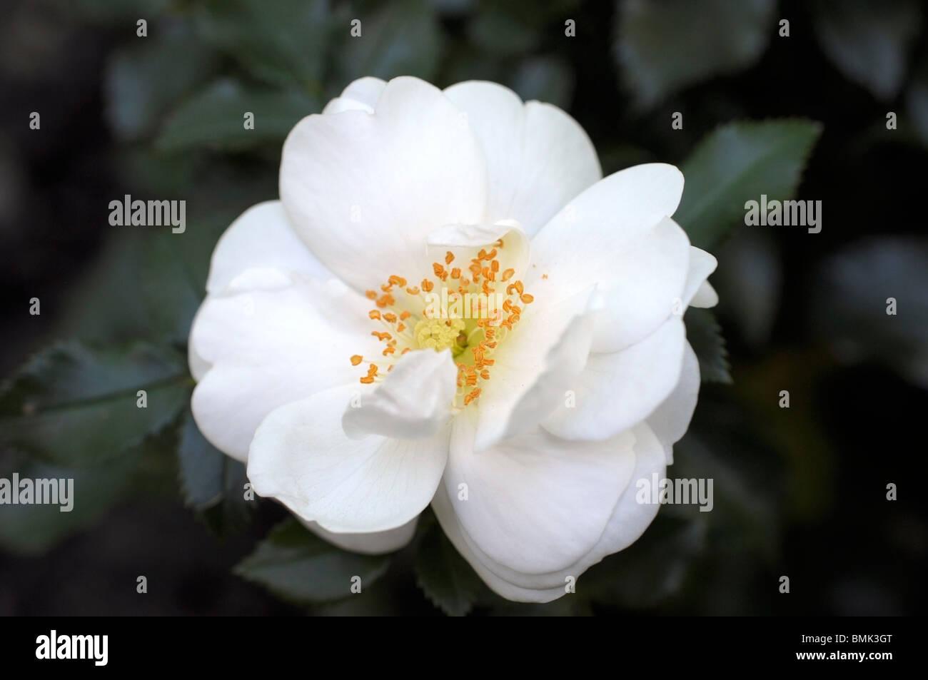 Bianco Rosa Vigorosa Immagini Stock