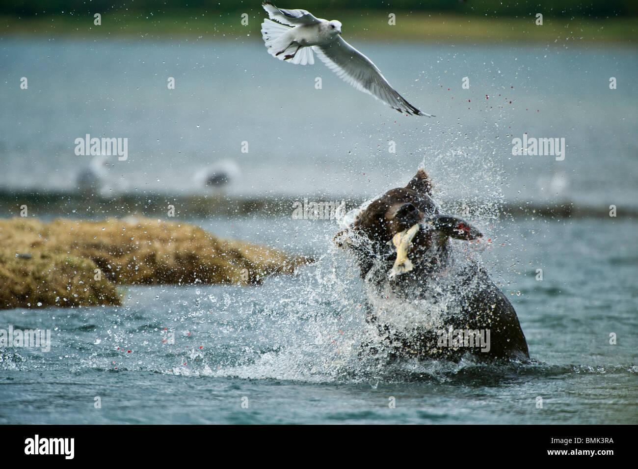 A coastal orso bruno si ritiene che le catture di salmone al porto geografica, Katmai National Park, Alaska, STATI Immagini Stock