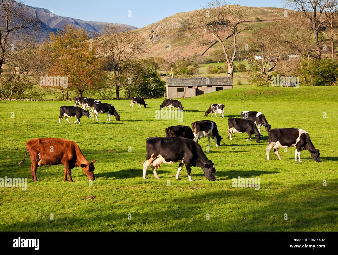 Vacche da latte bovini di allevamento, il pascolo in un campo in una fattoria nel distretto del lago, Cumbria, England, Immagini Stock