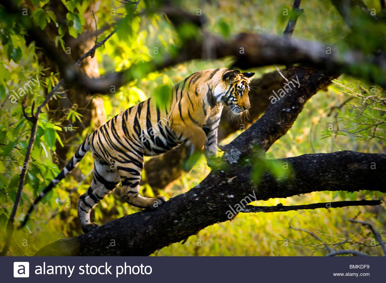 Adolescente di sesso maschile tigre del Bengala (circa quindici mesi) di arrampicarsi su un albero. Bandhavgarh Immagini Stock