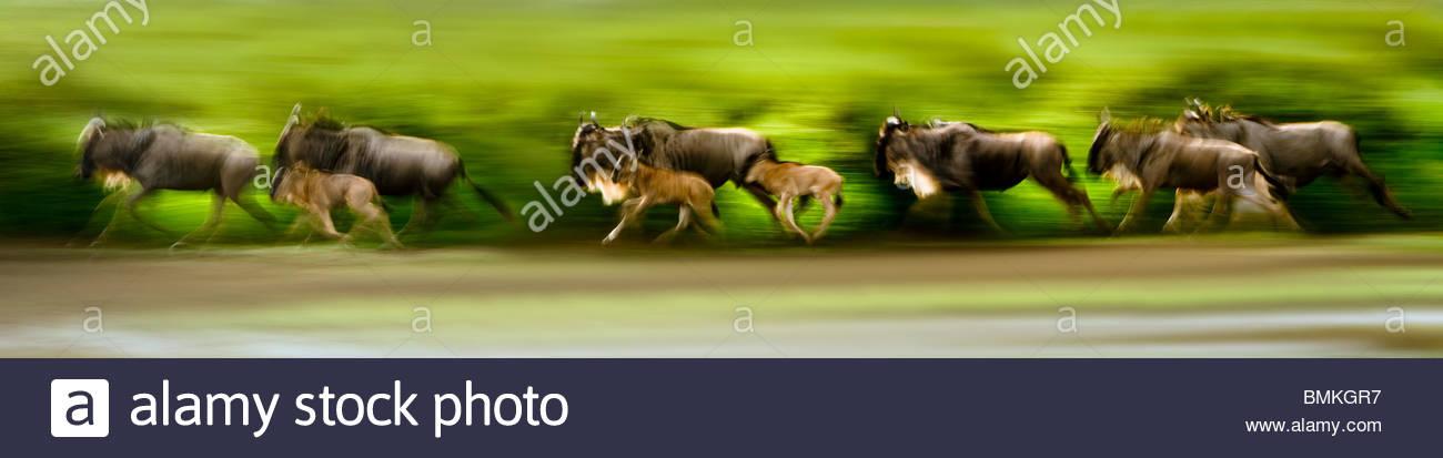 Allevamento di lunga barba bianca di gnu con vitelli, Serengeti-Masai Mara migrazione, Ngorongoro, Serengeti, Tanzania. Immagini Stock