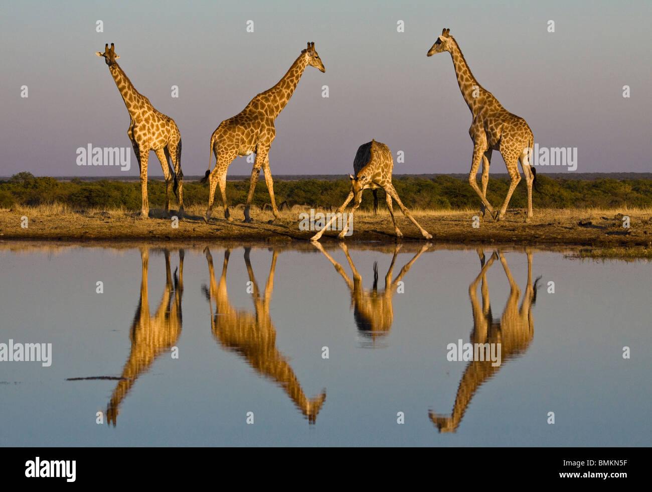 Giraffe al foro per l'acqua, riflessa nell'acqua, Etosha Pan, Namibia Immagini Stock