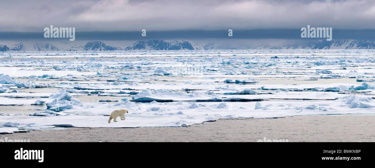 Orso polare Passeggiate sul ghiaccio, floe Woodfjorden, nord Spitsbergen, Svalbard artico, Norvegia. Immagini Stock