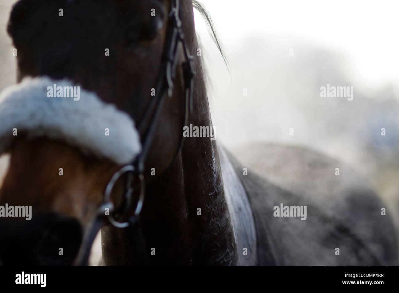 La cottura a vapore di cavalli da corsa dopo il punto-punto Horse Racing a Cottenham in Cambridgeshire Immagini Stock