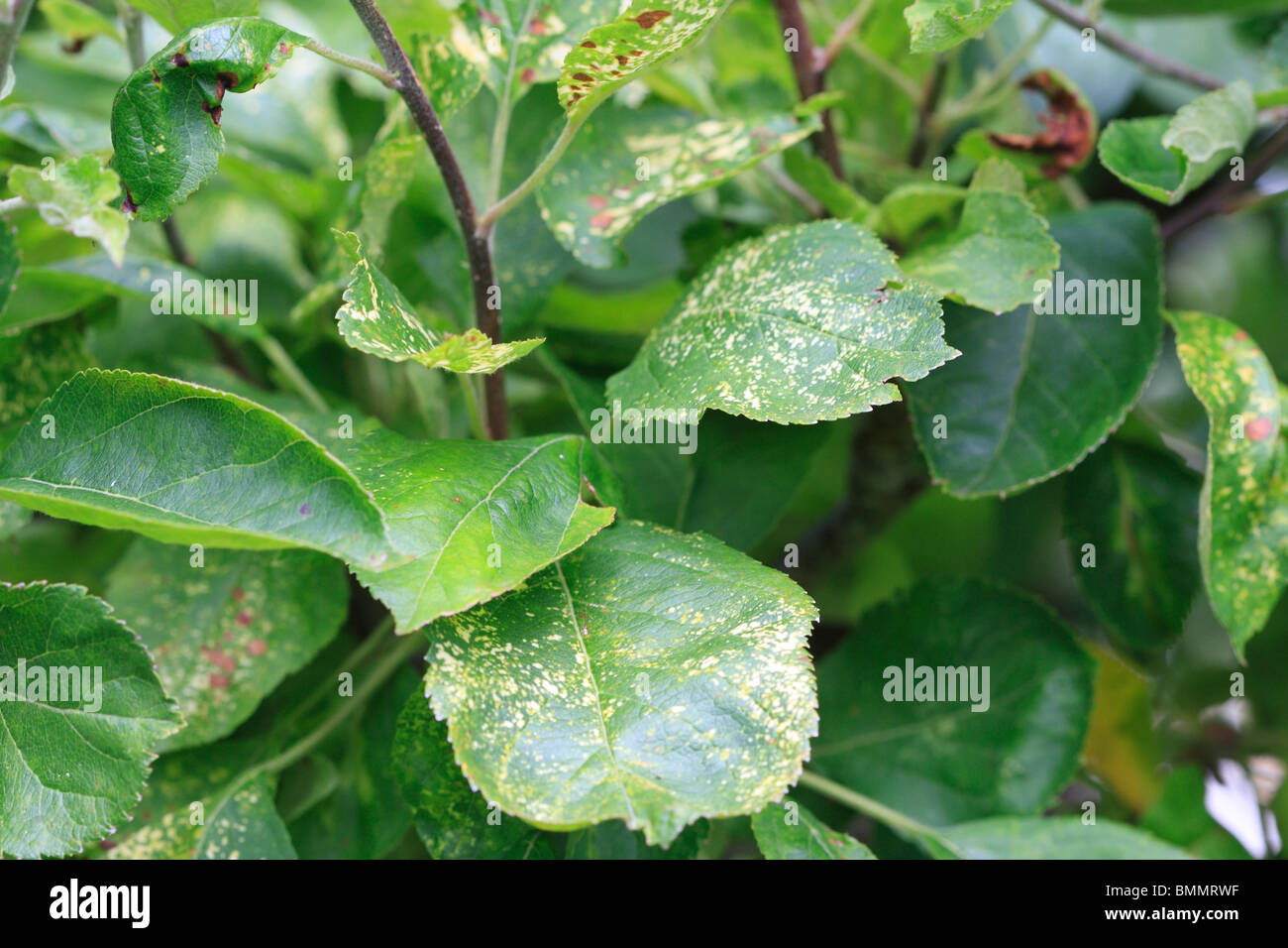 APPLE mosaic virus produce una variabile schemi di colore giallo su foglie in inizio di estate Immagini Stock