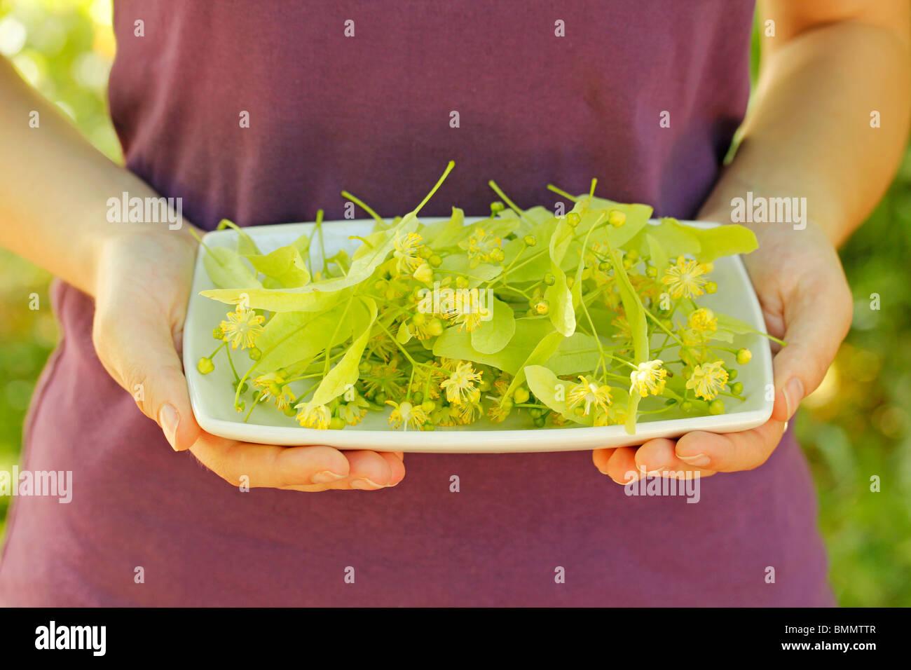 La raccolta di tiglio foglie Immagini Stock