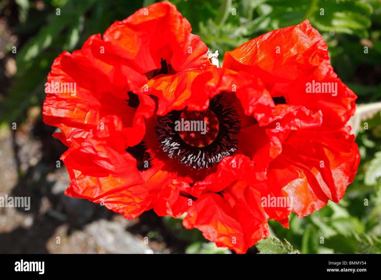 Orintal papavero (Papaver orientale Allegro) close up di fiore Immagini Stock