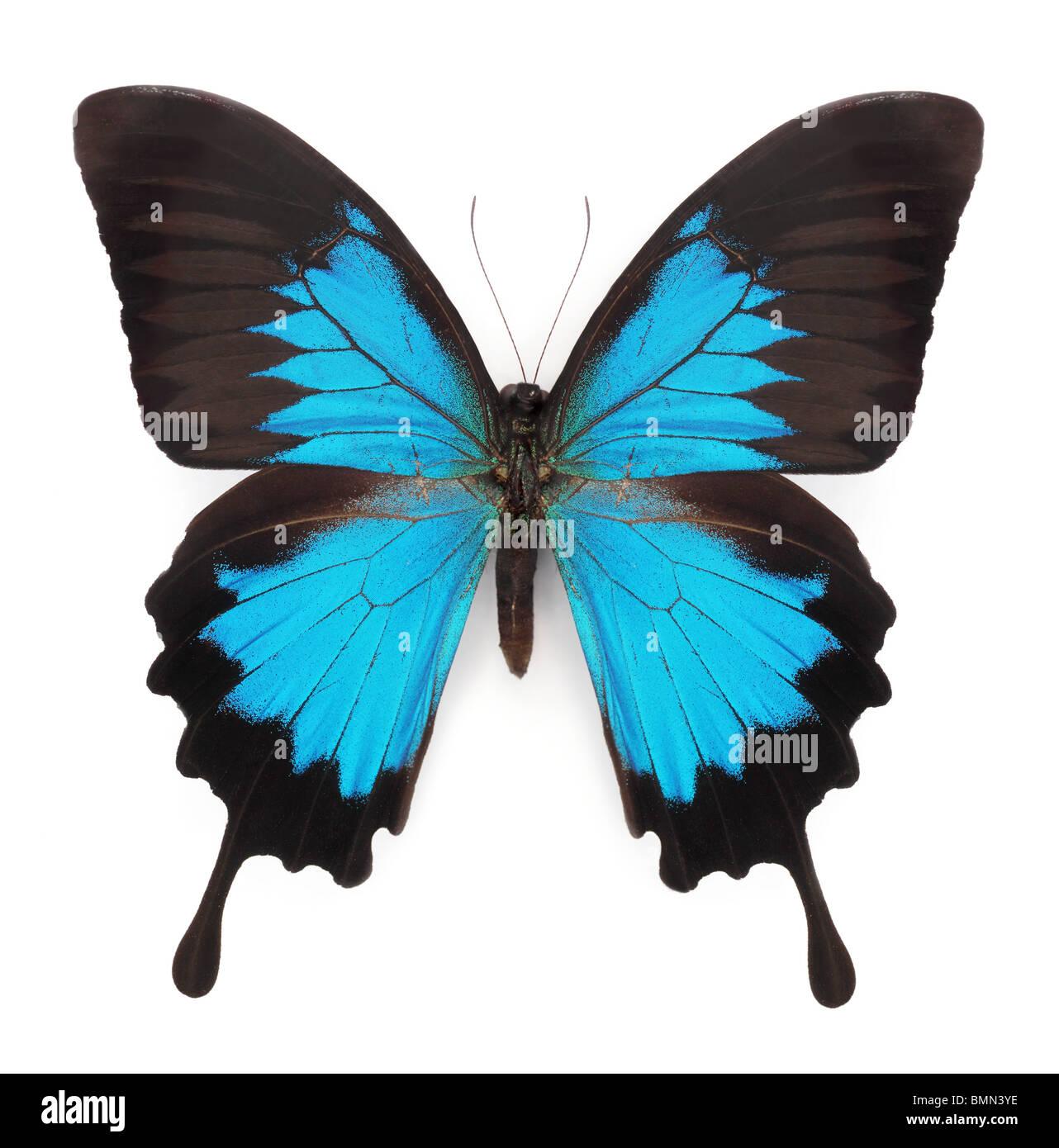 Blue Butterfly isolati su sfondo bianco Immagini Stock