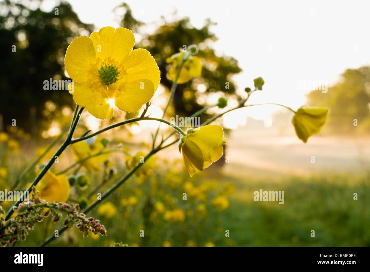 Prato di Renoncules presso sunrise.Angersleigh Somerset Immagini Stock