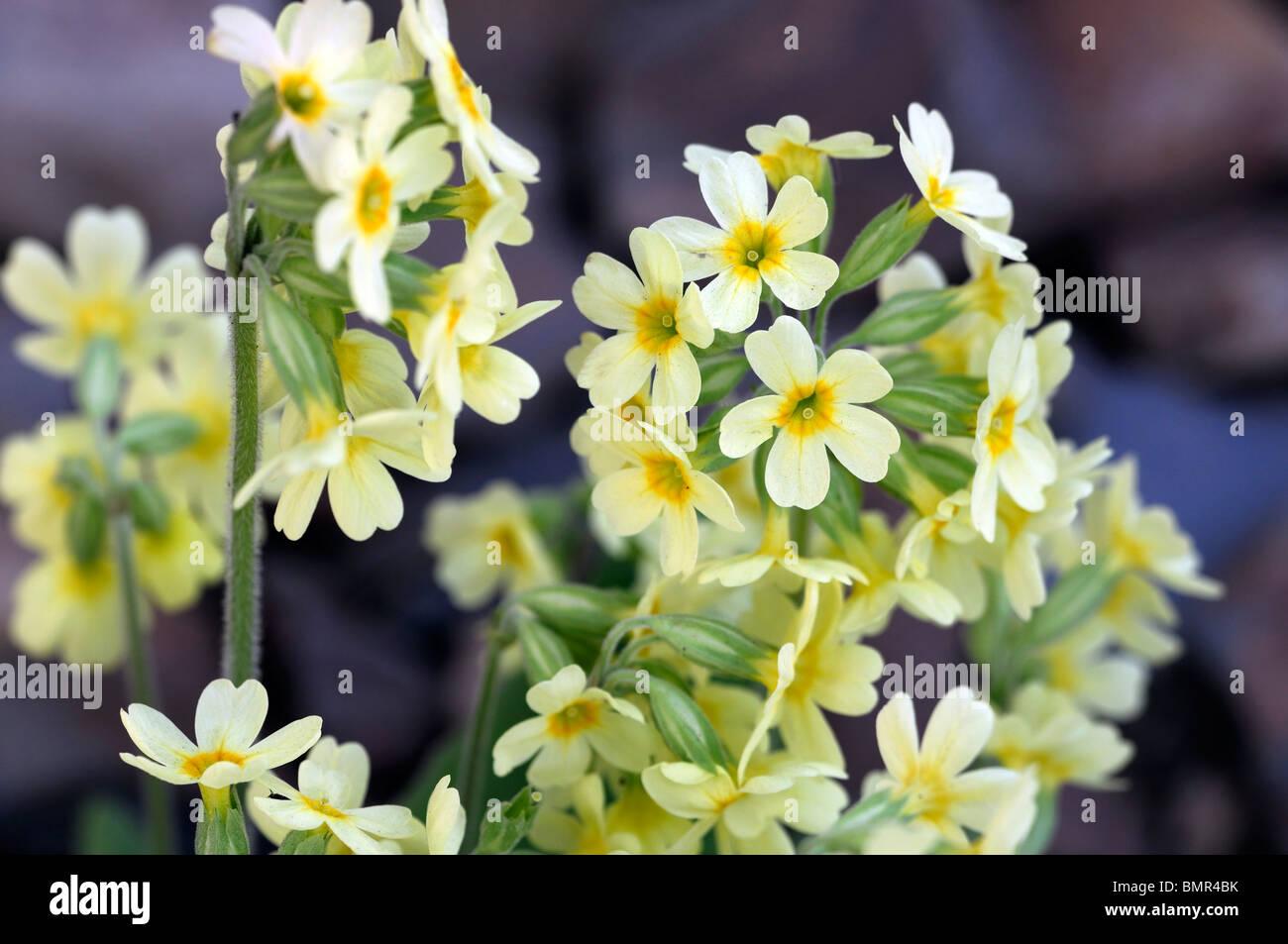 Primula elatior oxlip vero oxlip bassa crescita piante erbacee