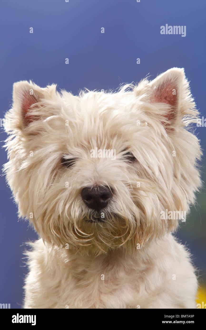 West Highland White Terrier, 12 anni / Westie Foto Stock