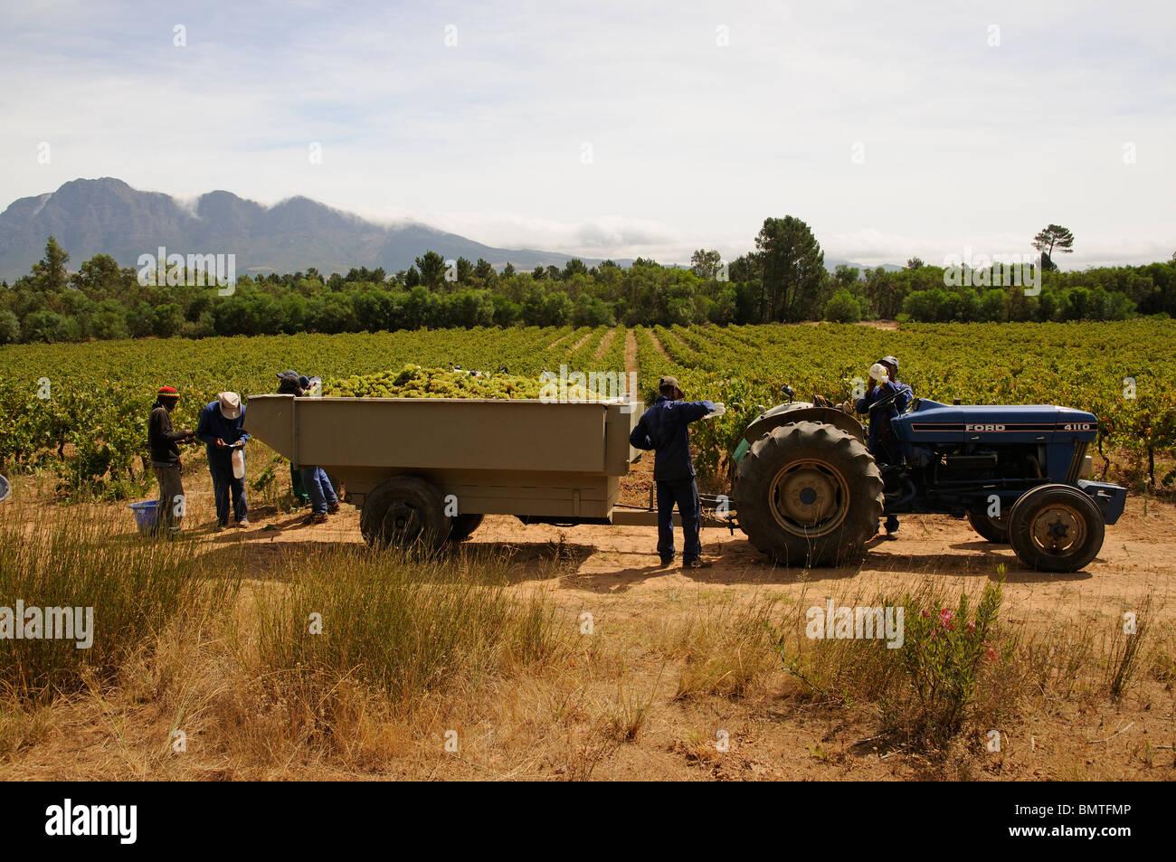Raccogliere le uve per la produzione del vino della provincia del Capo regione western cape Sud Africa Immagini Stock