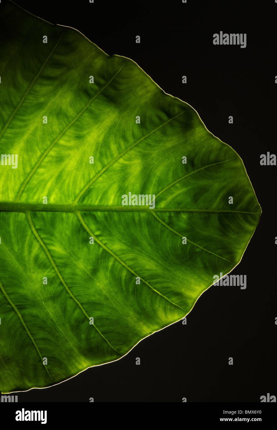 La fine di una pianta verde foglia, sfondo nero Immagini Stock