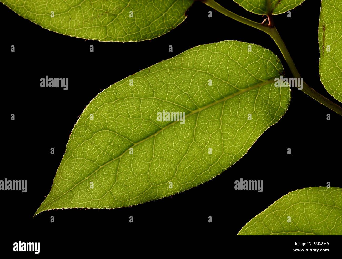 Pianta verde foglie su un ramo, sfondo nero Immagini Stock