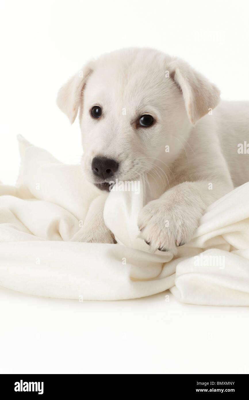 Grazioso cucciolo bianco su sfondo bianco Immagini Stock