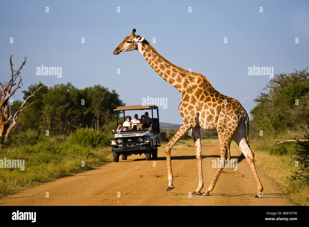 Giraffe (Giraffa camelopardalis) l'attraversamento di una strada davanti ad un veicolo di safari. Madikwe Game Immagini Stock
