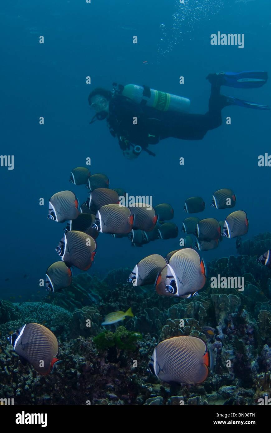 Subacqueo e una scuola di collare bianco Butterflyfish, Chaetodon collare, Isole Similan Immagini Stock