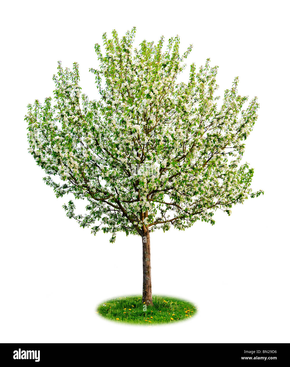 Unica fioritura giovani melo in primavera isolato su sfondo bianco Immagini Stock