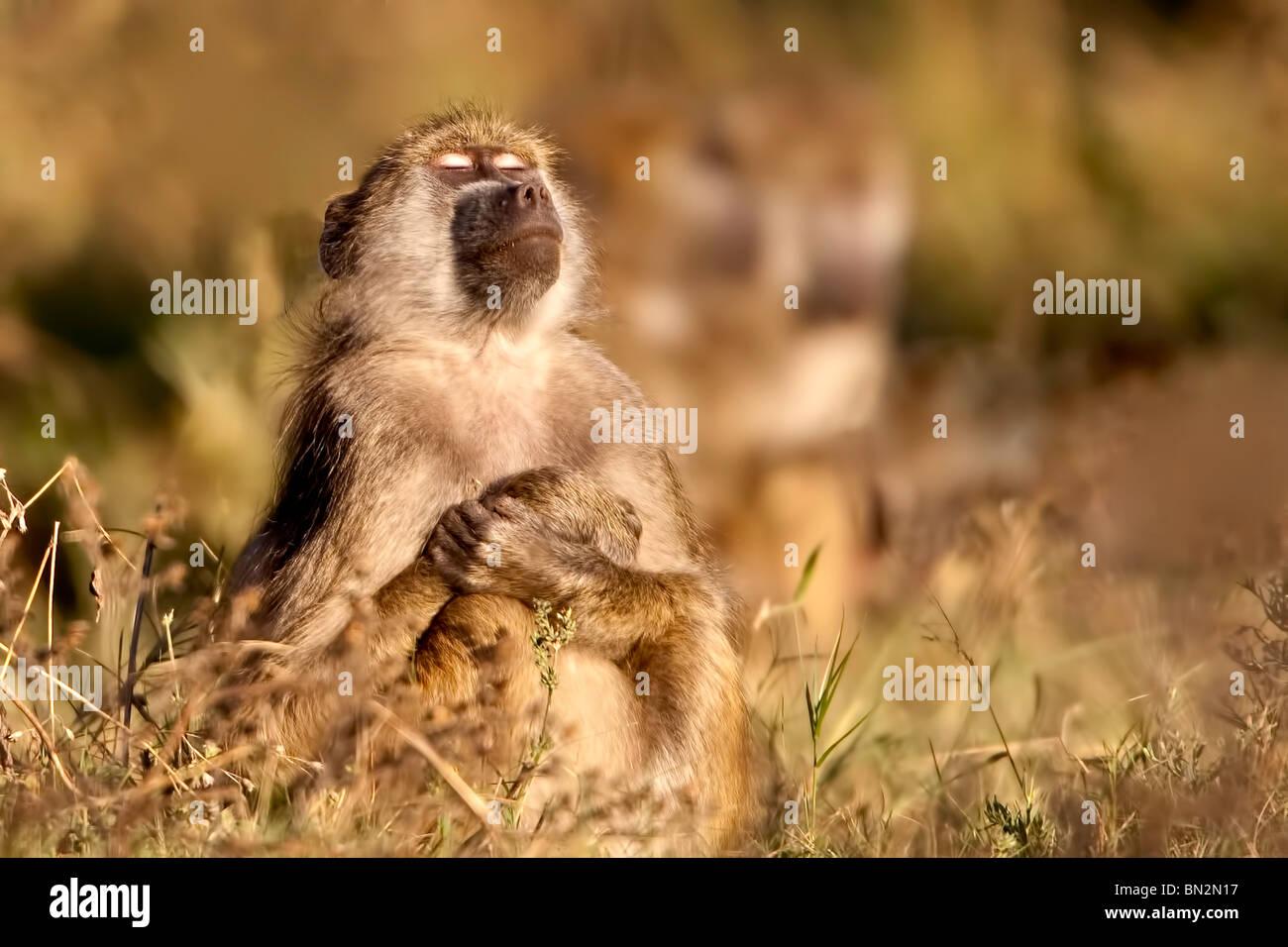 Babbuino seduto con gli occhi chiusi e con le braccia incrociate in una posizione orante al mattino presto sun Immagini Stock