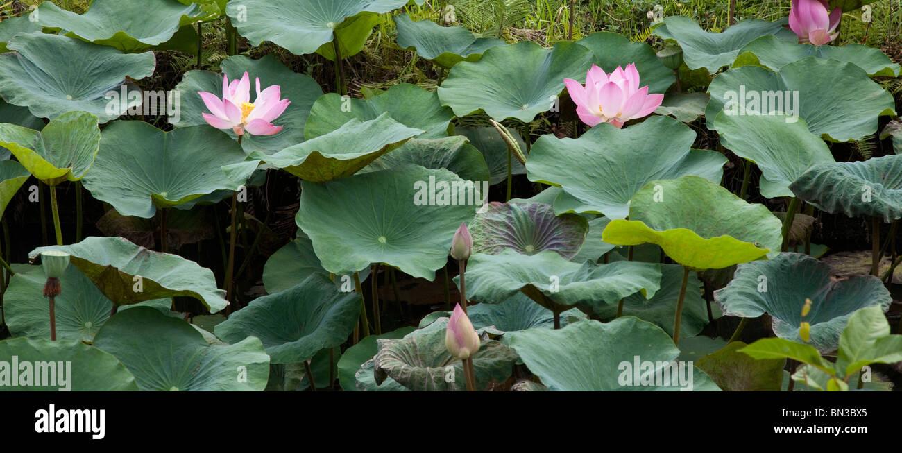 Rosa fiori di loto e foglie, Nelumbo nucifera, Indonesia Immagini Stock