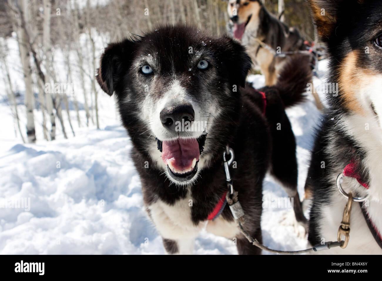 Uno Sled Dog sorridente durante il riposo Immagini Stock