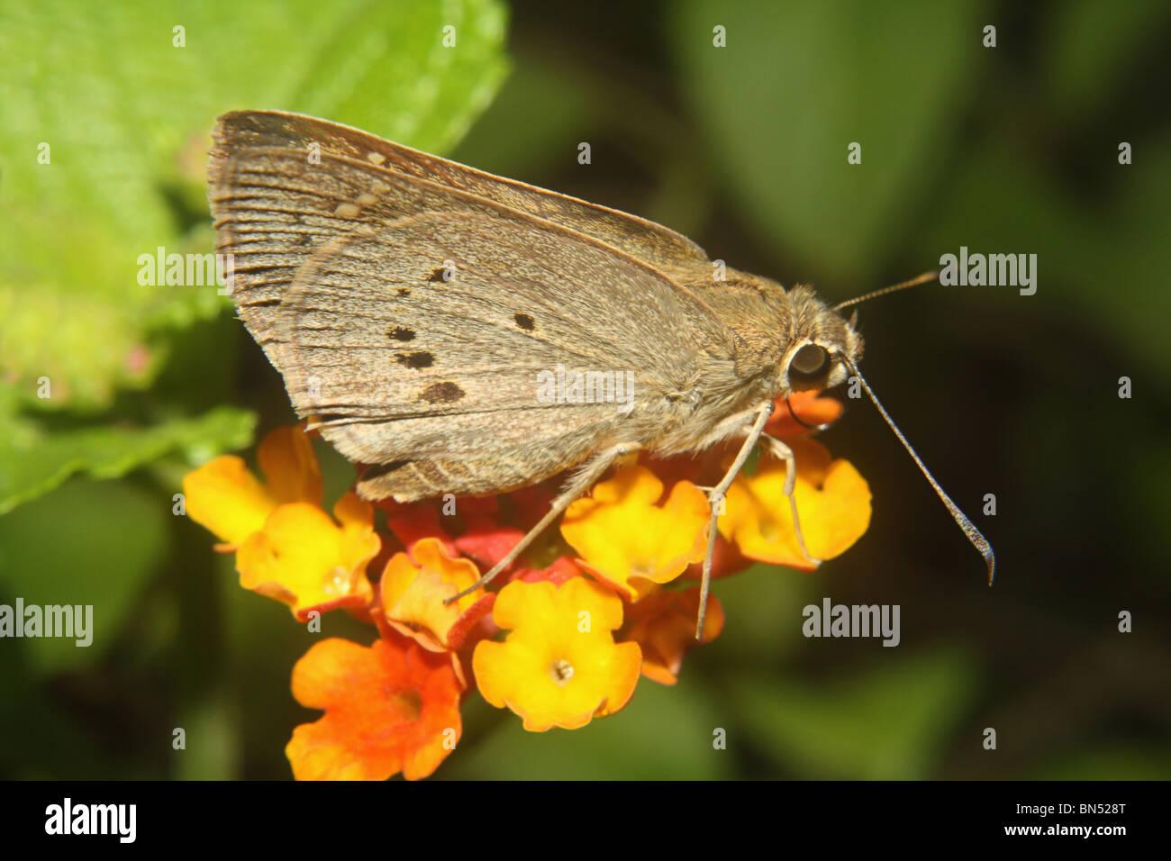 Indian Palm Bob, Suastus gremius Butterfly. Hesperiidae : Skippers Ubicazione- Karnala il santuario degli uccelli Immagini Stock