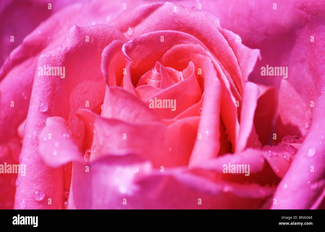 Close up di rosa rosa nel pieno fiore con gocce d'acqua Immagini Stock